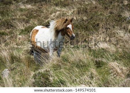 Feral Shetland pony mare stands in the wind.
