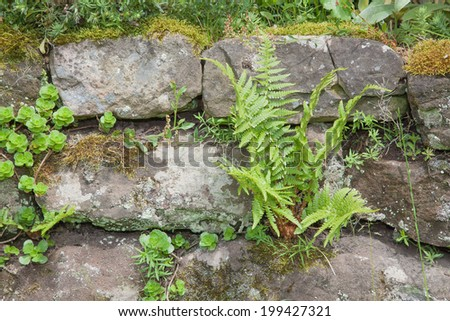 Fern covered dry stone wall - stock photo