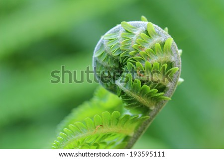 Fern frond unfurling in forest  - stock photo