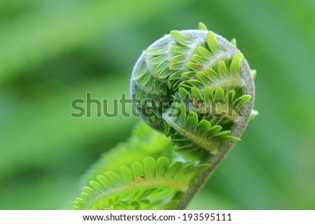 Fern frond unfurling in forest  - stock photo