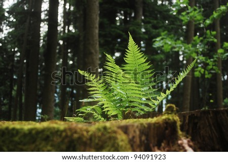 Fern growing in the wilderness of the Carpathian mountains.