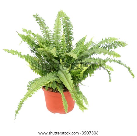 Fern in a pot isolated on white - stock photo