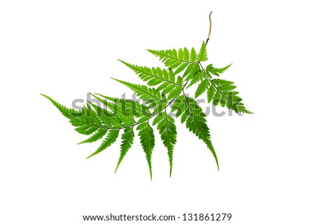 Fern isolated on  a white background - stock photo