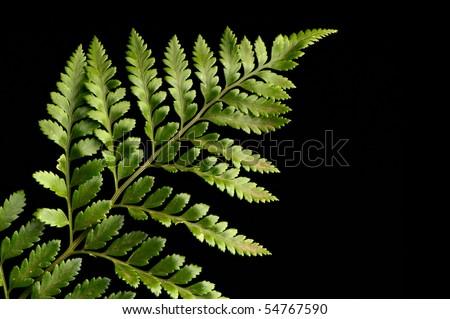 Fern leaf against a black background - stock photo
