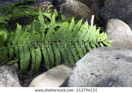 Fern leaf growing among the rocks.  - stock photo