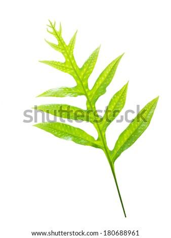fern leaf isolated on white background - stock photo
