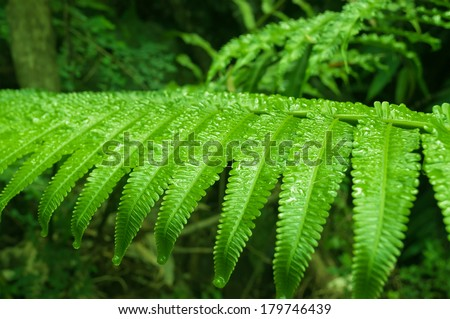 Fern leaf with water drops in the jungle. Cameron Highlands. Malaysia - stock photo