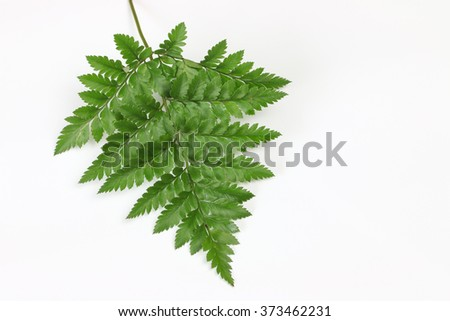 Fern leave isolate on white background.