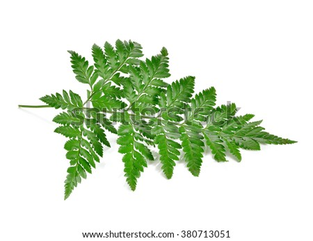 Fern leave isolate on white background - stock photo