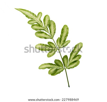 Fern leave, isolated on white background - stock photo