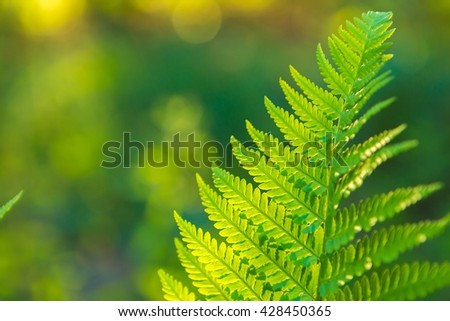 Fern leaves growing in forest in summer sunlight. Natural background