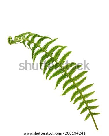 fern leaves on white background - stock photo