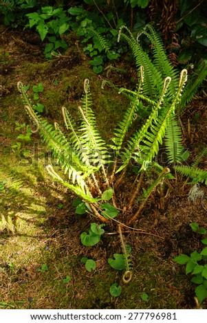 Fern on coastal forest floor,  Otter Crest, Oregon Coast - stock photo