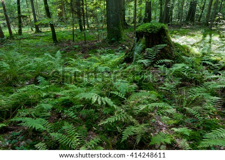 Ferns and old spruce tree stump moss wrapped in summertime forest,Bialowieza Forest,Poland,Europe