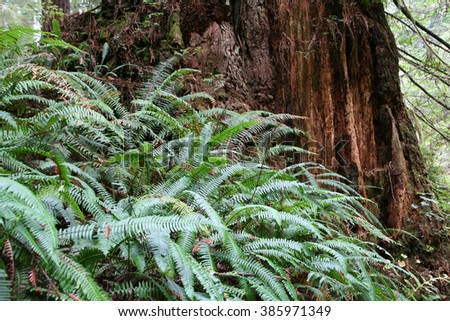 Ferns and Redwood tree trunk Taken November 2015 Redwood Forest California - stock photo