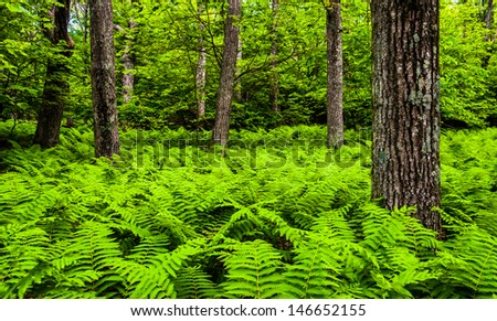 Ferns and trees in a lush forest in Shenandoah National Park, Virginia. - stock photo