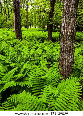 Ferns and trees in the forest, in Shenandoah National Park, Virginia. - stock photo