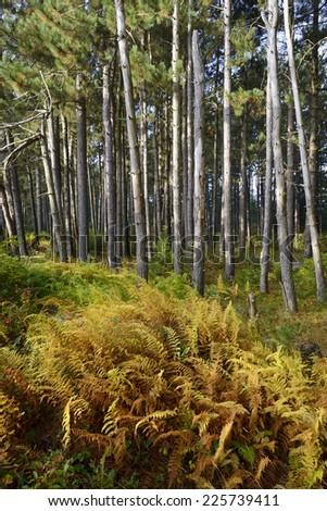 Ferns Turning Golden in Autumn - stock photo