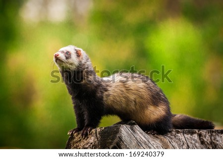 ferret  - stock photo