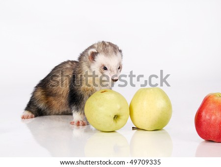 Ferret and yellow apples - stock photo