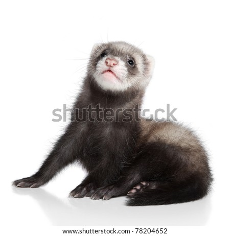 Ferret baby on a white background - stock photo