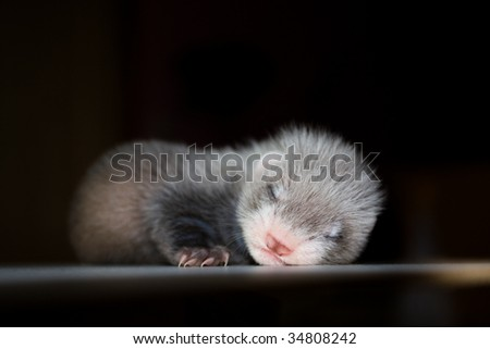 Ferret baby twenty days old