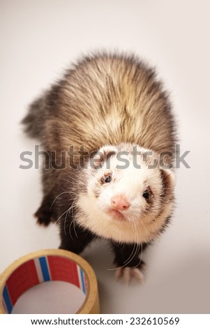 Ferret disturbing at work