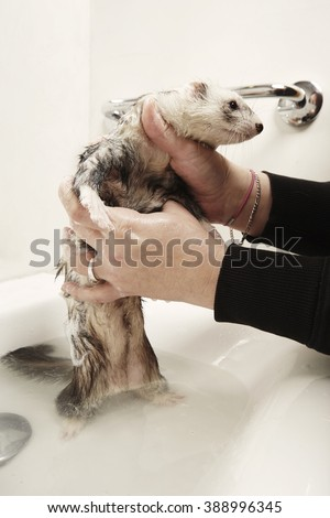Ferret has time for bath - stock photo
