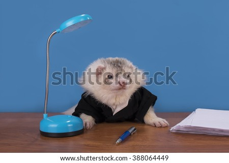 ferret in a suit working in the office chief - stock photo