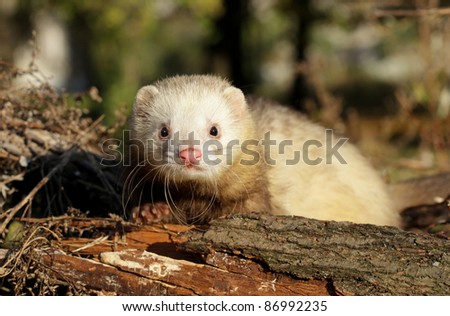 Ferret  in autumn forest. Selective focus