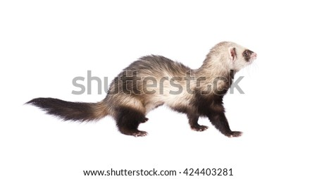 Ferret in full growth lies isolated on white background - stock photo
