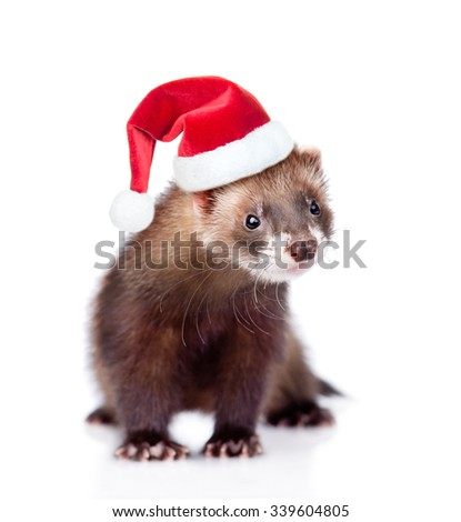 ferret in red christmas hat looking at camera. isolated on white background - stock photo