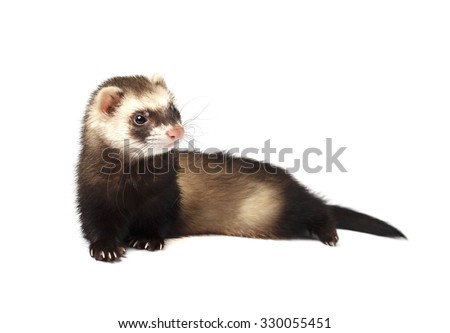 Ferret isolated on a white background - stock photo