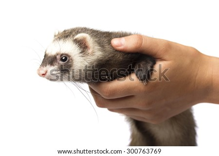 Ferret isolated on the palm