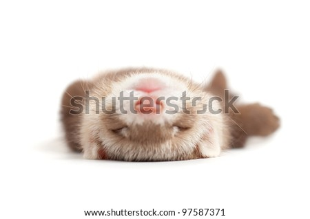 Ferret kit (4 weeks) on white background - stock photo
