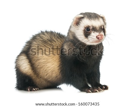Ferret (Mustela putorius furo) isolated on white background - stock photo