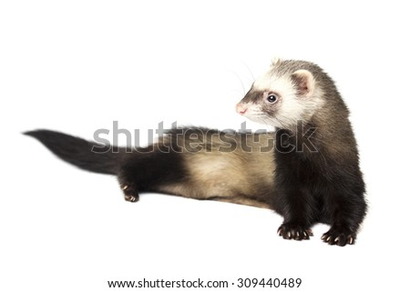 Ferret on a rest - stock photo