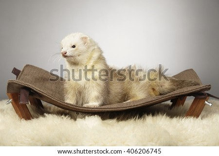 Ferret on nice sofa - stock photo