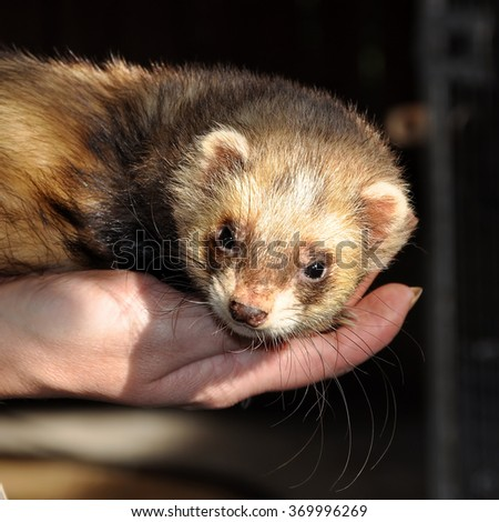 ferret on the hands