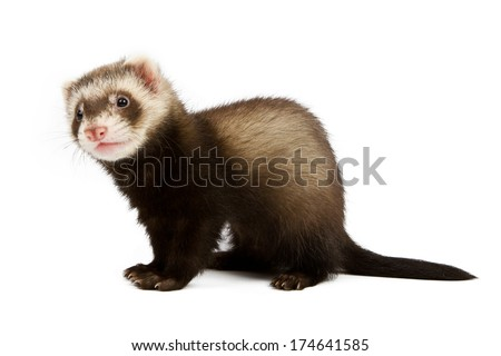 Ferret sitting and looking away in front of white background - stock photo
