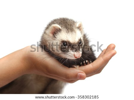Ferret sitting on hand and looking away in front of white background - stock photo