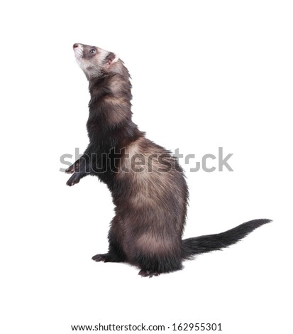 Ferret standing on hind legs, isolated on white - stock photo