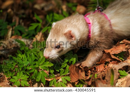 Ferret with a pet collar on a leash in the forest