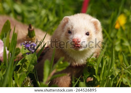 Ferret with a pet collar on a leash in the grass