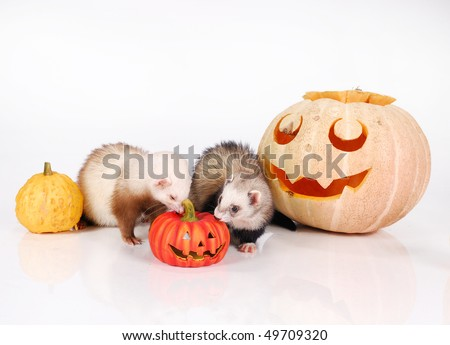 Ferrets and Halloween pumpkin - stock photo