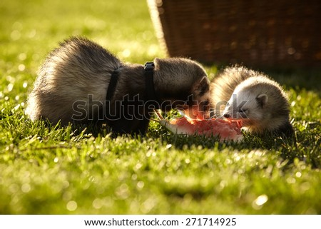 Ferrets on leash enjoying their birthday water melon in park - stock photo