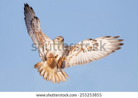 Ferruginous Hawk - stock photo