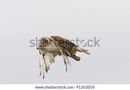 ferruginous hawk in flight at nest Saskatchewan Canada - stock photo
