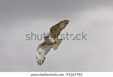 Ferruginous Hawk in flight Saskatchewan Canada - stock photo