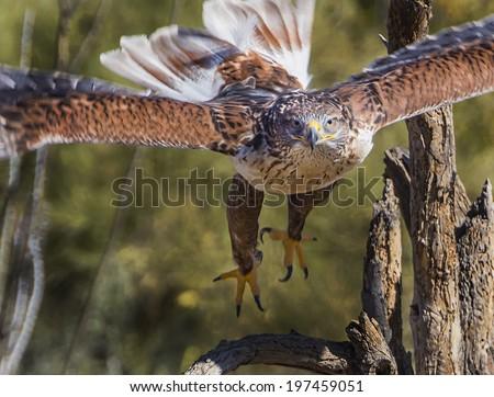 Ferruginous Hawk in Tucson Arizona - stock photo